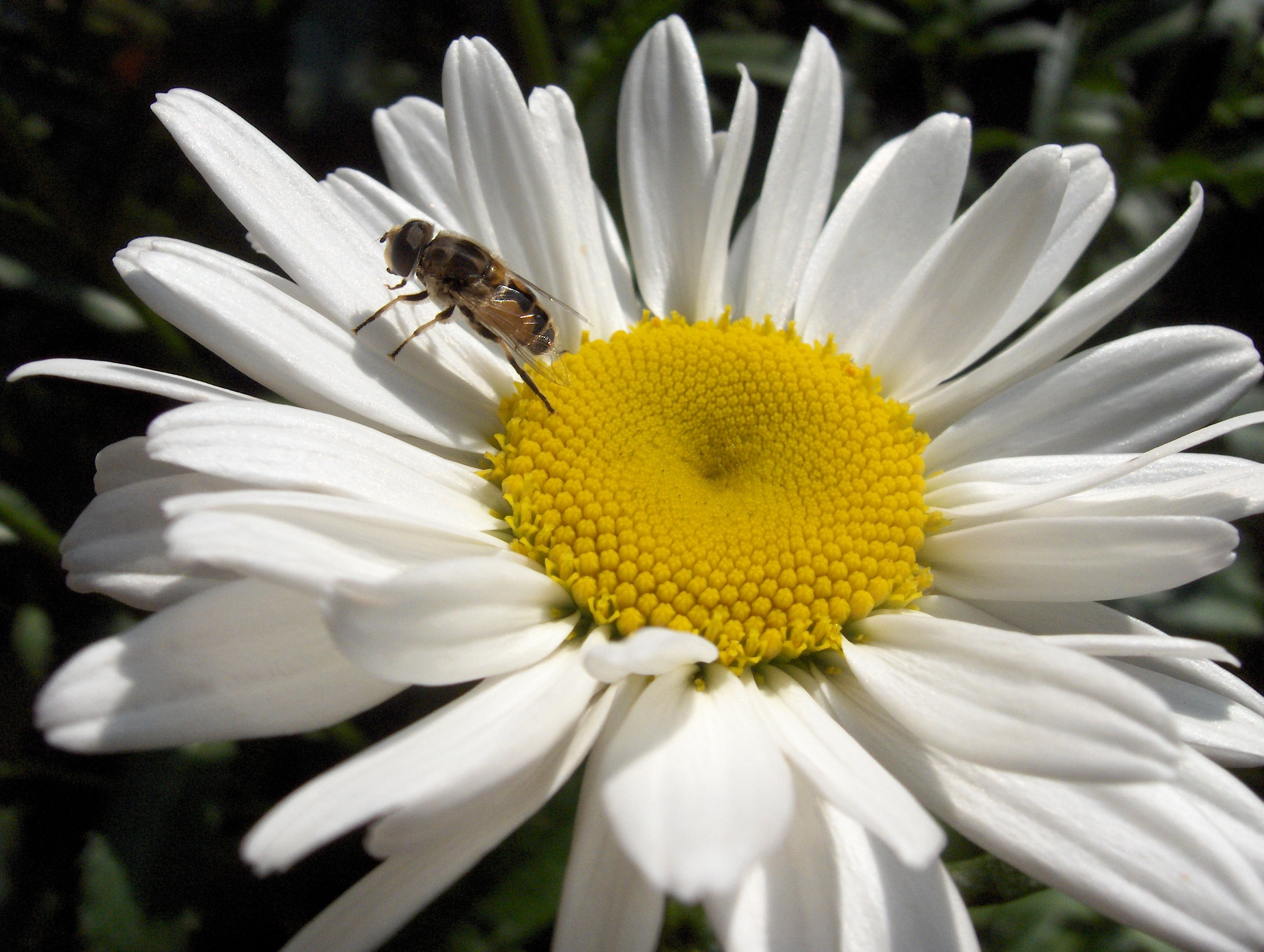bee on the marguerite